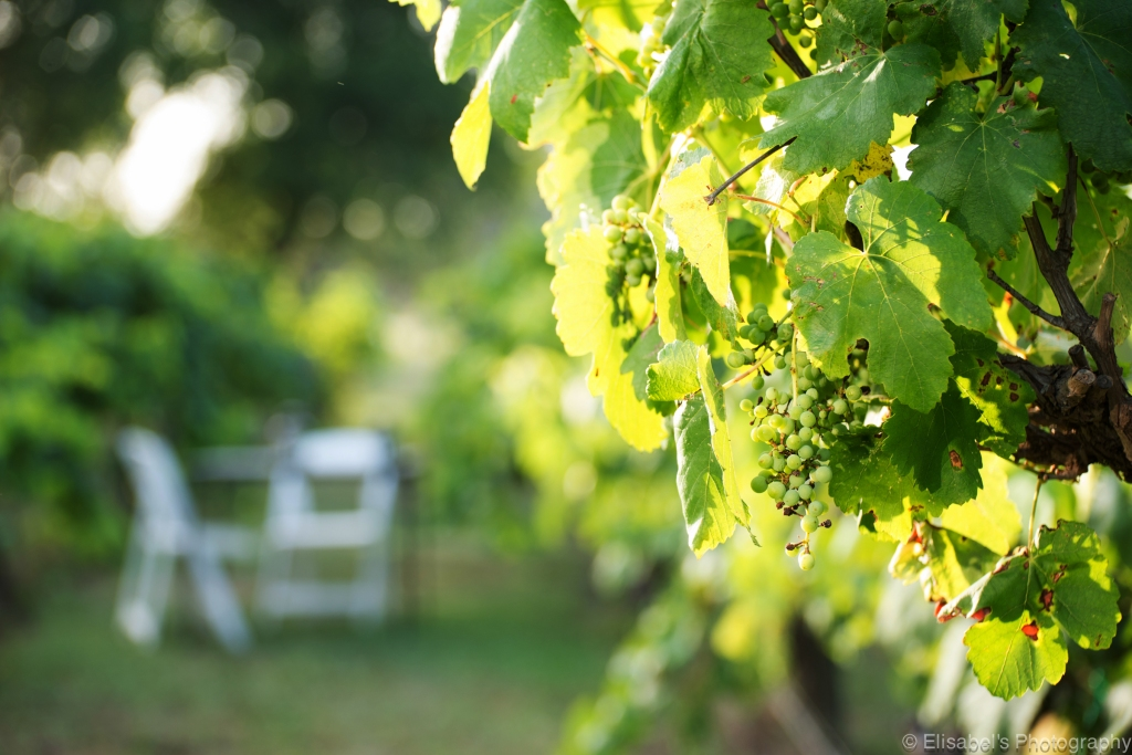 vinyards_DSC_0474